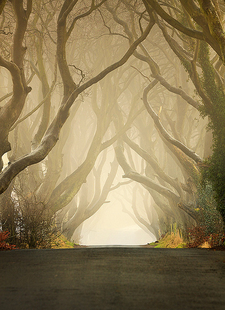 Morning mist at The Dark Hedges in Co. Antrim, Northern Ireland