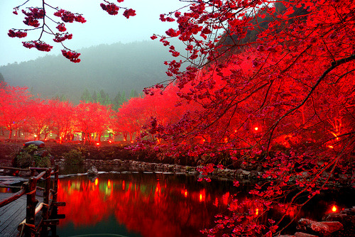 Lighted Cherry Blossom Lake, Sakura, Japan