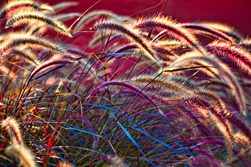 Foxtails, Venice Beach, California