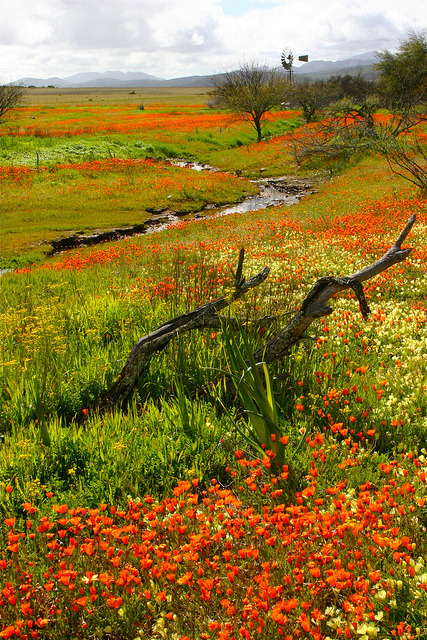 Impressive fields of daisies in Namaqualand, South Africa