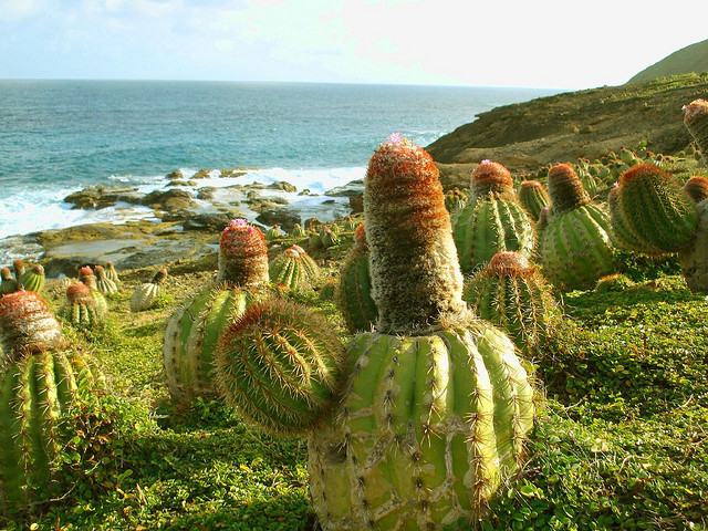 A wild cactus garden on the cliffs at south east coast of Mustique, St Vincent and Grenadines