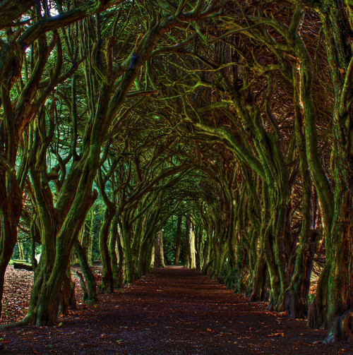 Tree Tunnel, Meath, Ireland
