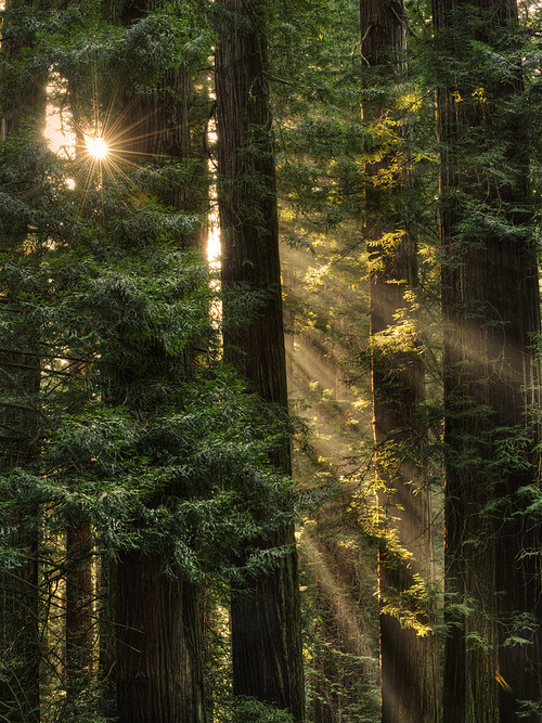 Sequoia Sunrays, Del Norte County, California