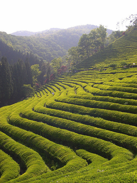 Boseong Tea Plantations in Jeollanam-do, South Korea