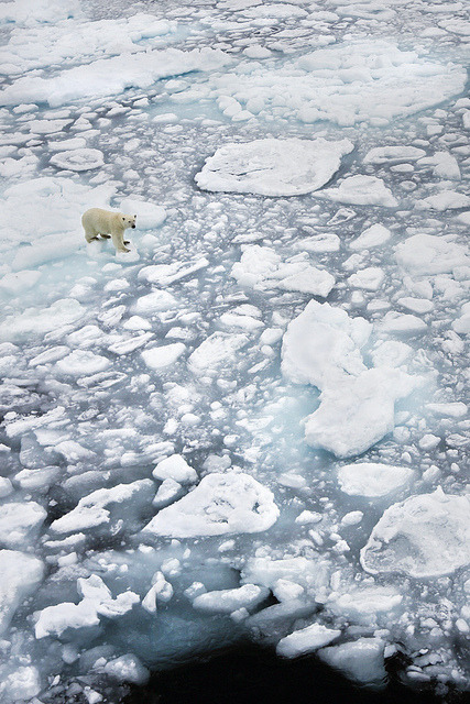 Polar bear on ice, Svalbard Archipelago, Norway