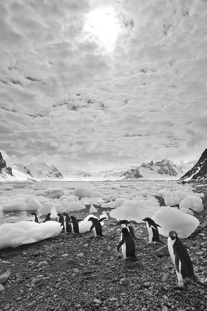 March of the Adelies, Antarctica